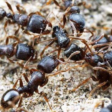Дерновые муравьи, колония