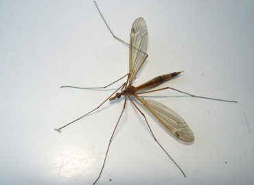 Долгоножка (комар)