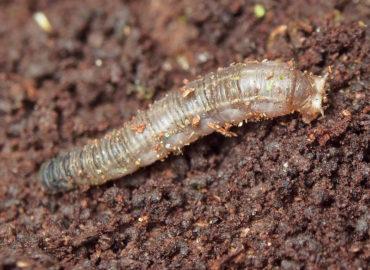 Долгоножка (личинка)