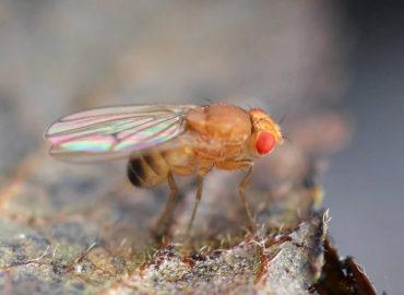 Муха-дрозофила или плодовая мушка