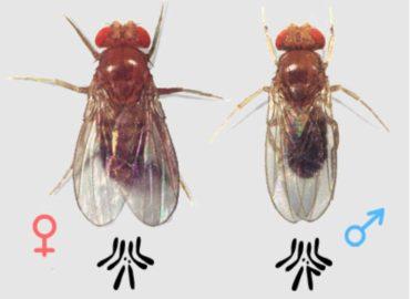 Самка и самец мухи-дрозофилы