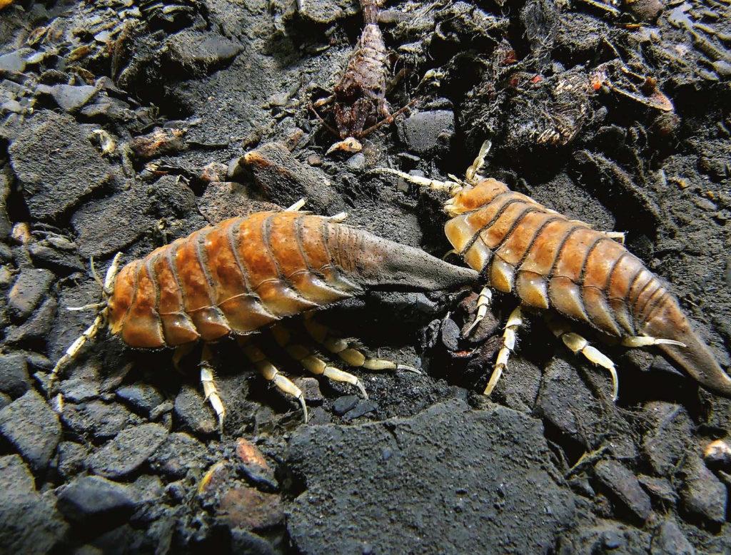 Морской таракан, внешний вид