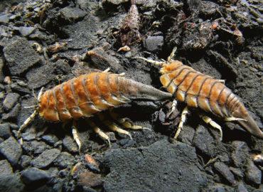 Морской таракан на дне