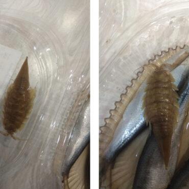 Морской таракан в кильке