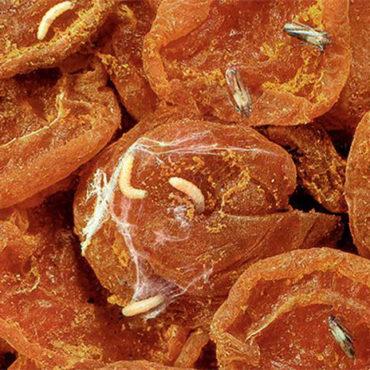 Личинки пищевой моли, фото