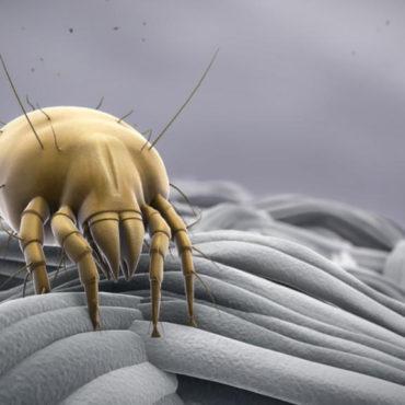 Пылевой (постельный) клещ, внешний вид