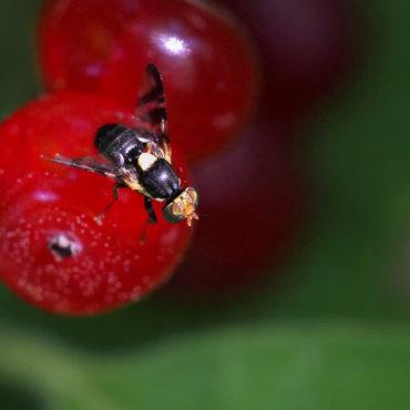 Вишневая муха на вишне