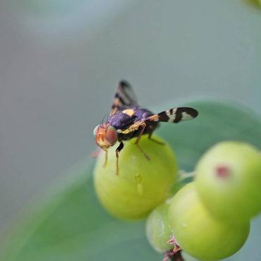 Вишневая муха на ягоде