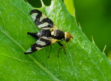 Вишневая муха на листе