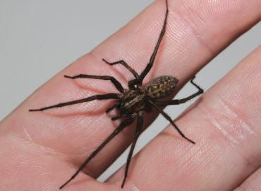 Домовый паук на руке