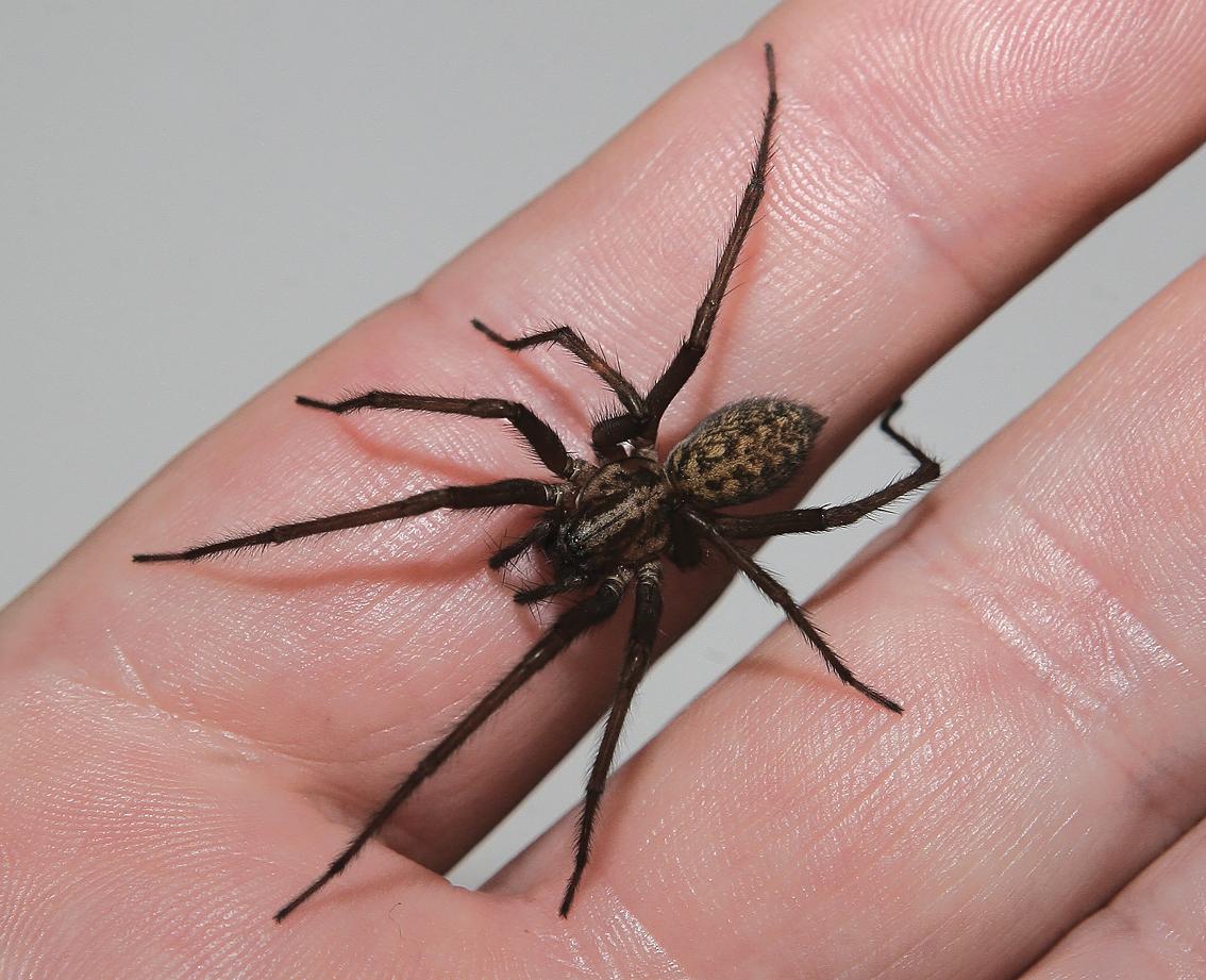 Домовый паук: опасный хищник или безобидный сосед?