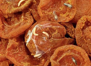 Фруктовая моль (личинки) в сухофруктах