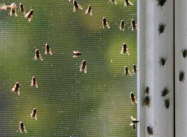 Скопление мух на оконной сетке