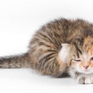 Кошачьи блохи бывают и у котят