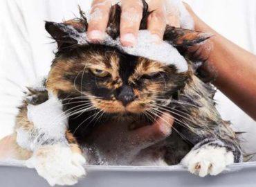 Предотвратить появление блох у кошки поможет ее мытье