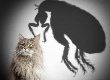 Блохи у кошек, особенности паразита