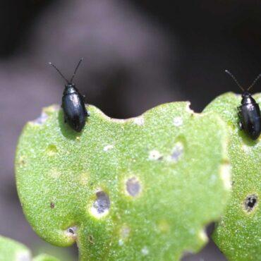 Крестоцветные блошки (Phyllotreta cruciferae)
