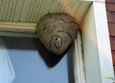 Осы в доме, гнездо