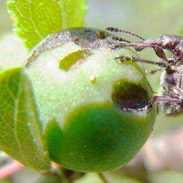 Яблоневый цветоед во время питания