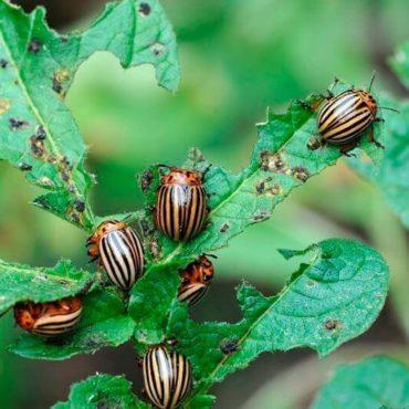Колорадские жуки на листах картошки
