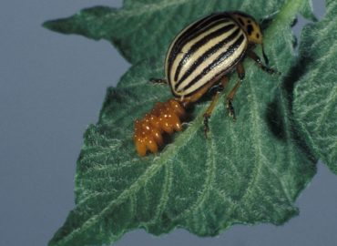 Икра колорадского жука, фото