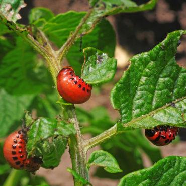 Колорадский жук, личинка