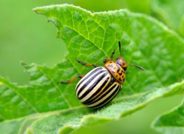 Колорадский жук, внешний вид, фото