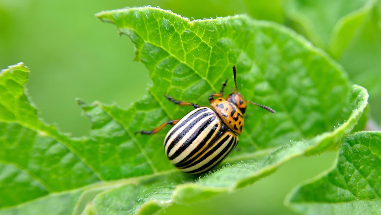 Что ест колорадский жук