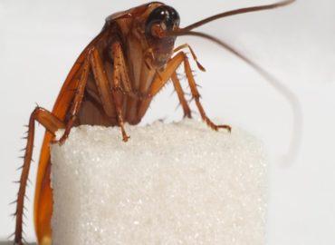 Как избавиться от рыжих тараканов?