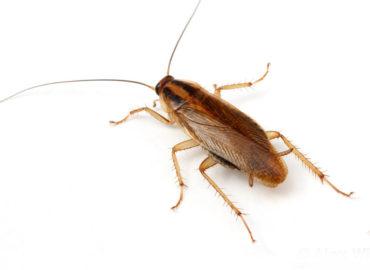 Рыжий таракан прусак, внешний вид, фото