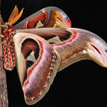 Павлиноглазка атлас, вид сбоку, фото