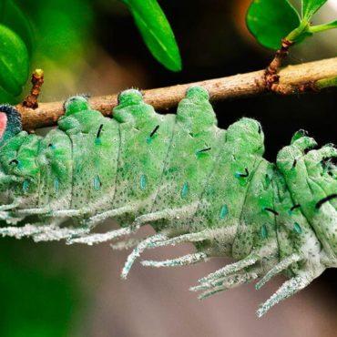 Павлиноглазка атлас, гусеница, фото