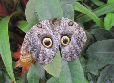 Бабочка сова из рода Калиго, фото