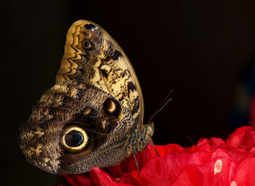 Бабочка сова из рода Калиго, вид сбоку, фото
