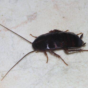 Черный таракан (Blatta orientalis), фото