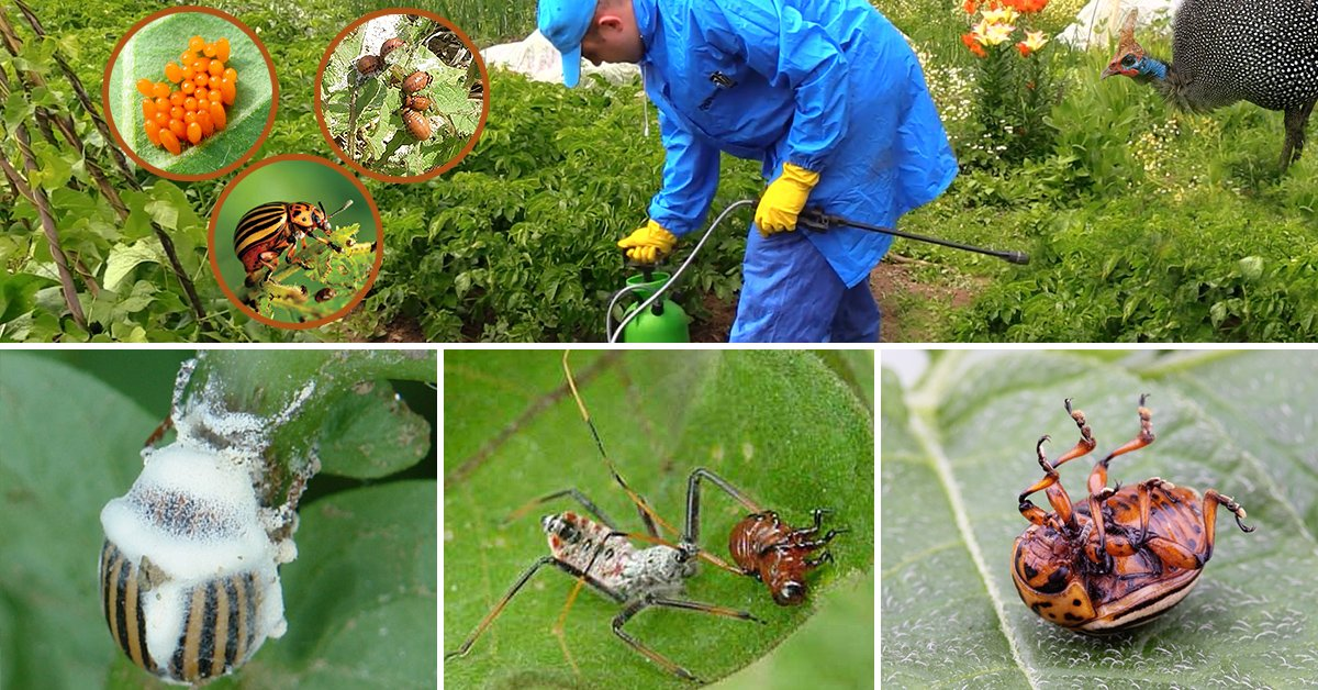 Народные средства против колорадского жука