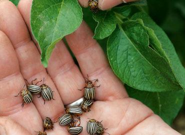 Ручной сбор колорадского жука
