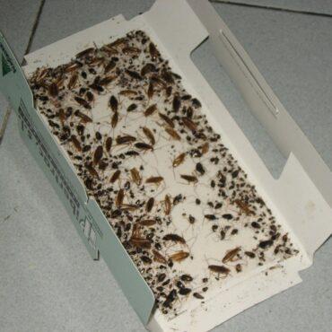 Ловушки для рыжих тараканов прусаков