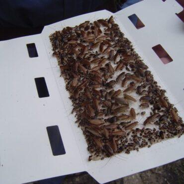 Клеевая ловушка для прусаков (рыжих тараканов)