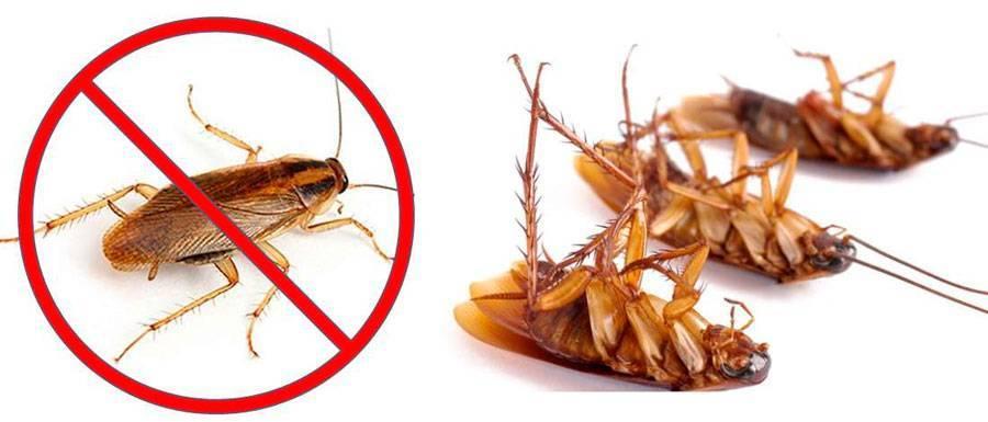 Рыжие тараканы прусаки в квартире: как избавиться от них?