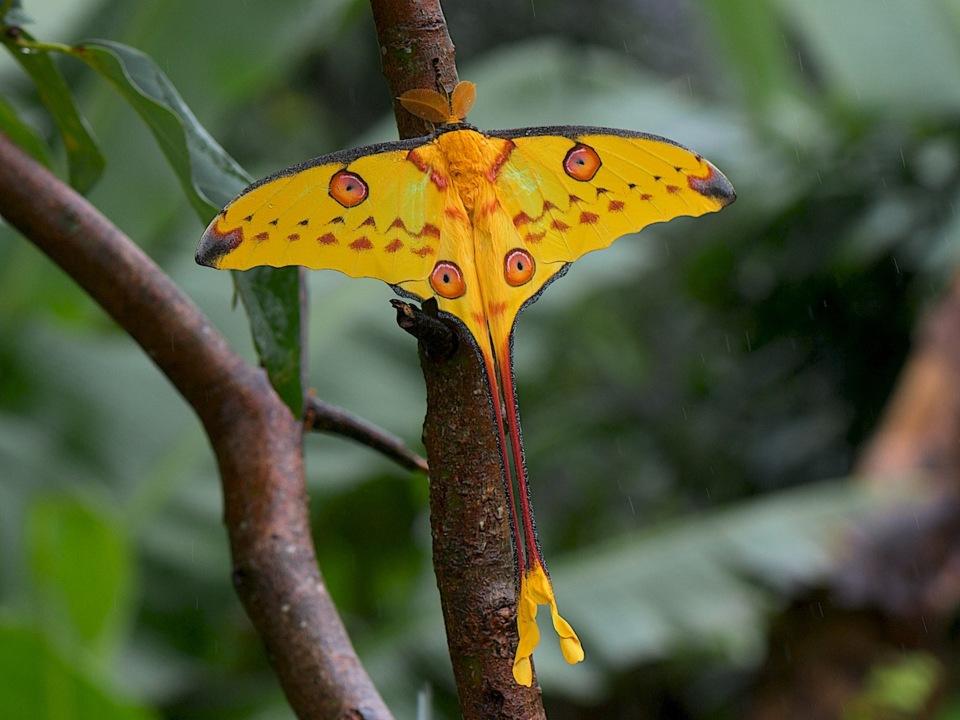 Мадагаскарская сатурния (Argema mittrei), внешний вид
