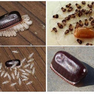 Оотека рыжего таракана прусака, фото личинок