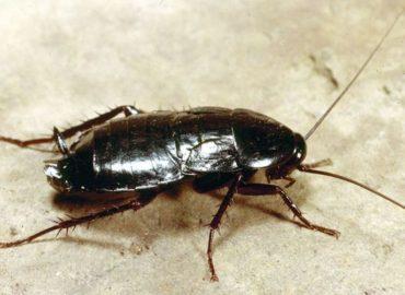 Черный таракан, фото