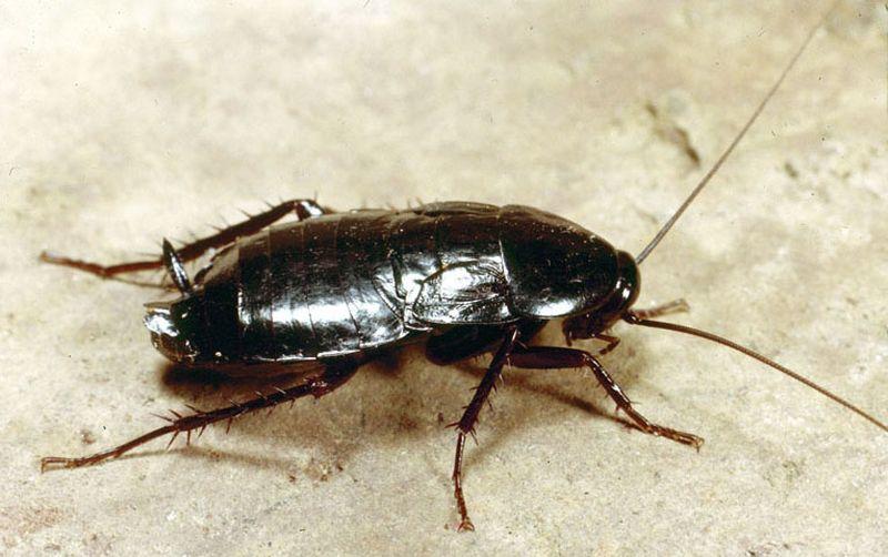 Черный таракан, внешний вид