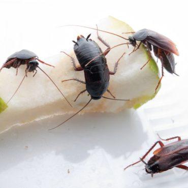 Черные тараканы, фото