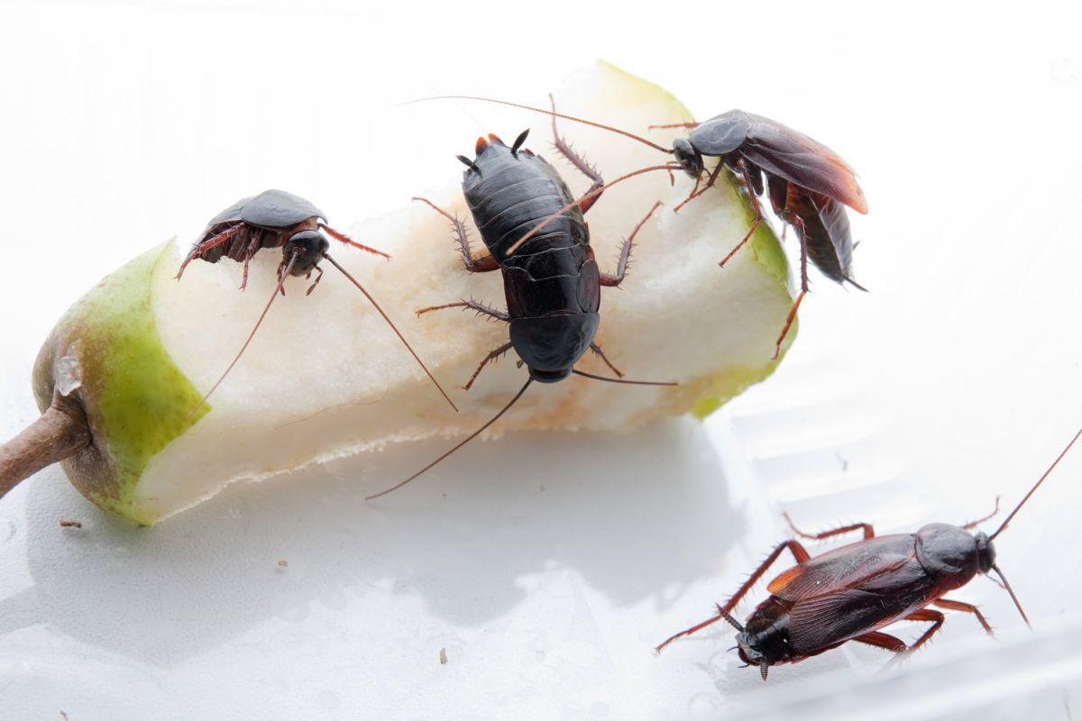 Черные тараканы в квартире: как избавиться от них?
