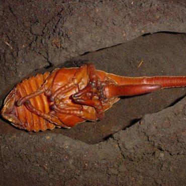 Куколка жука-геркулеса, фото