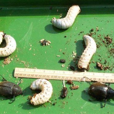 Личинки жука-геркулеса, фото