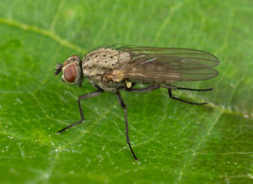 Луковая муха на листе, фото