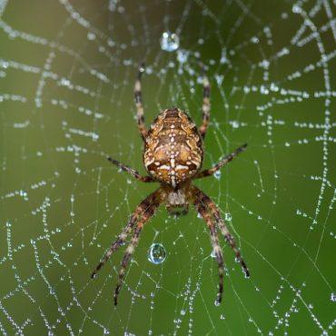 Паук-крестовик на паутине